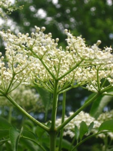 Elder. (Sambucus nigra) The blossoms are gentle enough for infants. Did you know that the bark and root are emetic and purgative. That means in sufficient doses you lose stuff from both ends.