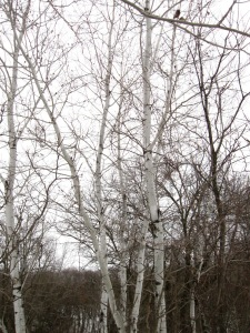 A small stand of Quaking Aspen in March (Cannon Falls, Minnesota)