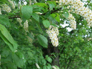 Chokecherry in full bloom