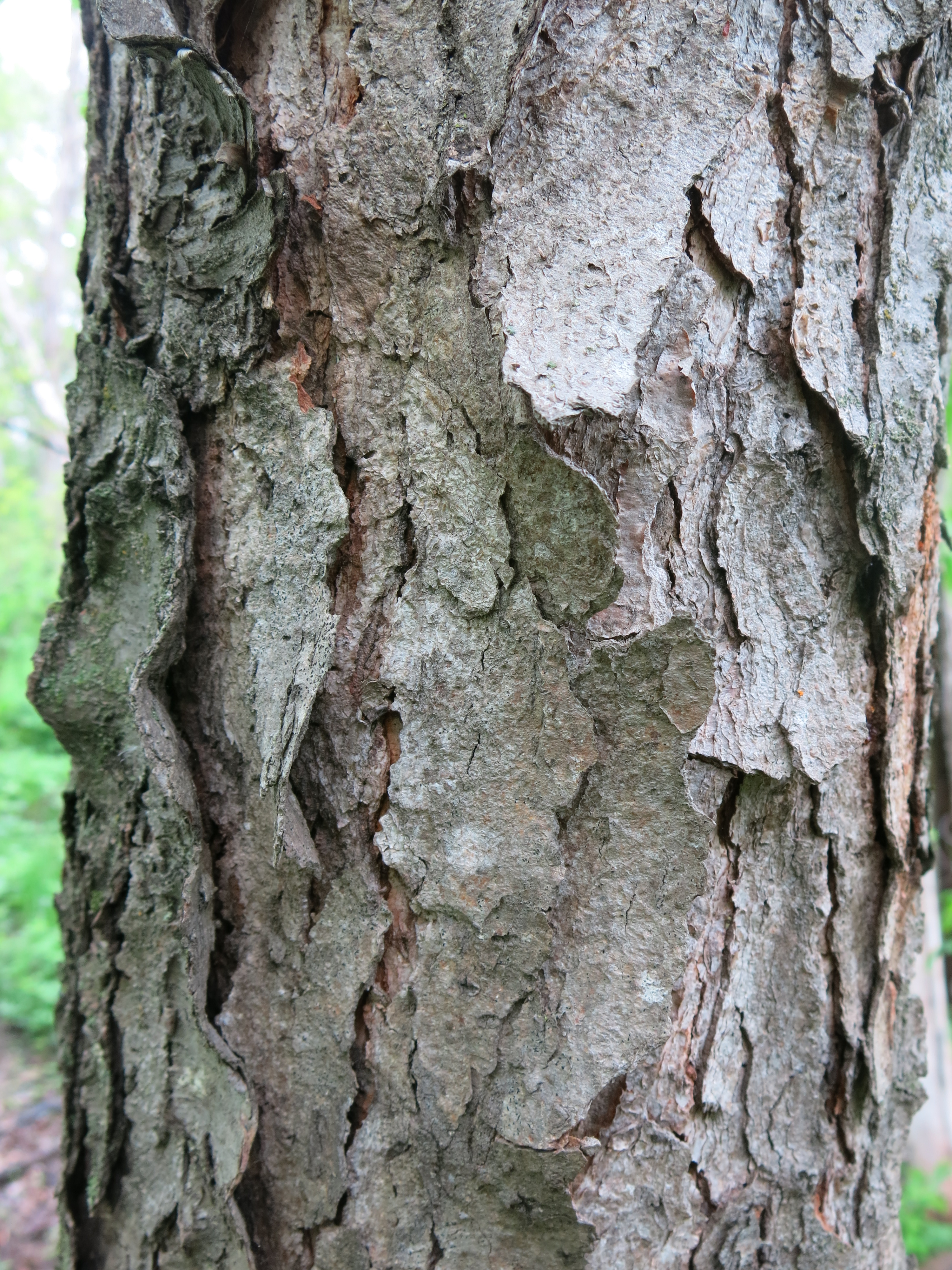 Plant Profile: Wild Ch... What Prunus Serotina Bark Look Like
