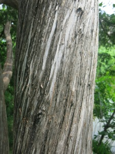 The characteristic bark of Northern White Cedar. Note the long, peely, vertical strips.