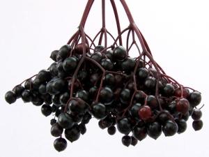 Elderberry cluster