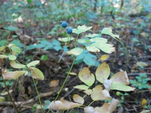blue cohosh fall