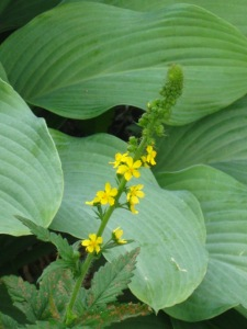 An Agrimony flower head near a hosta in my part to mostly shade MN garden