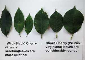 wild cherry and choke cherry leaves comparison
