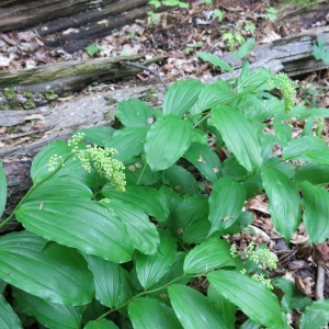 False Solomon's Seal is on my harvest list nearly every year.