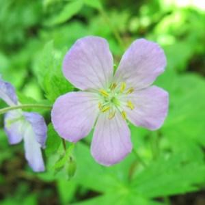 A blossom of Wild Geranium.