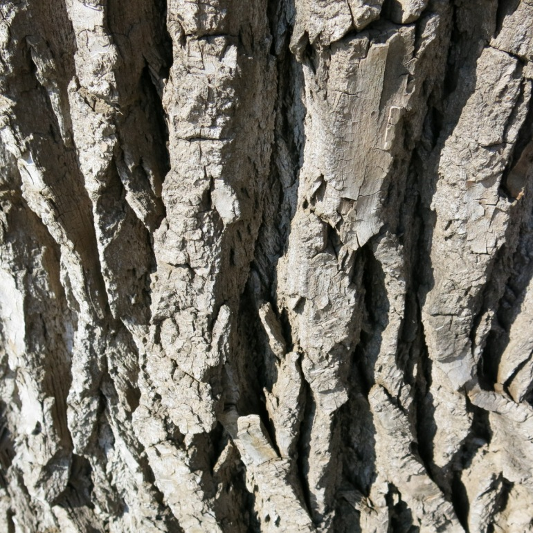 close up mature cottonwood bark