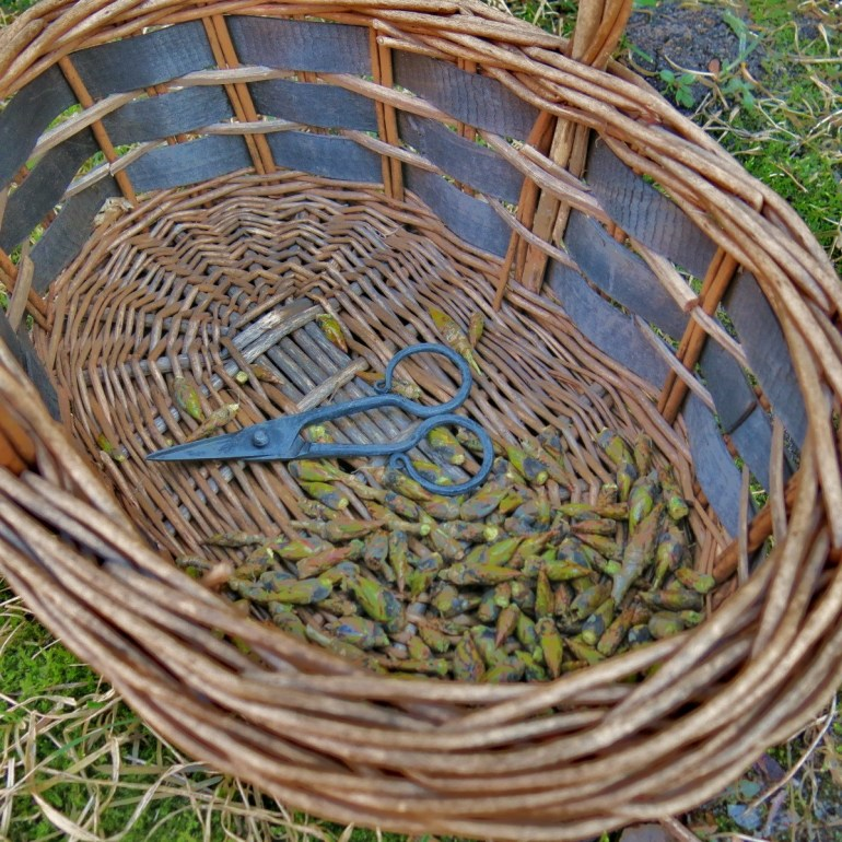 cottonwood buds in basket