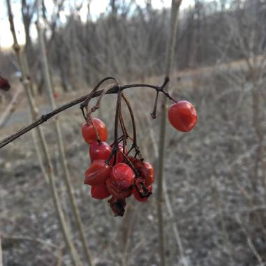 Viburnum berries in March